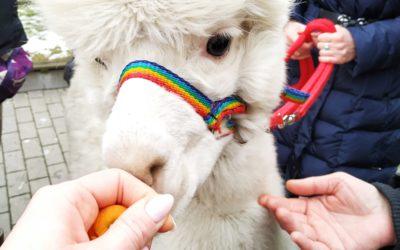 Wizyta Alpak